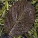 Autumn Magnolia leaf