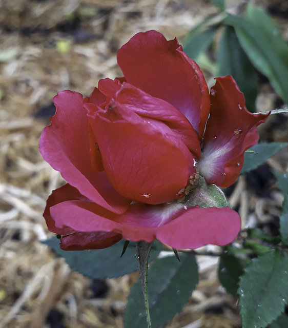 Red Rose with Aphids