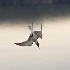 Diving Common Tern