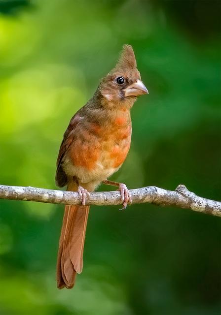 7263459dL  Young cardinal