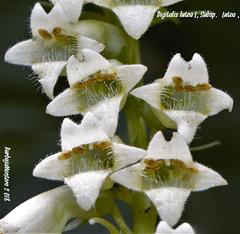 Digitalis lutea L. subsp. lutea