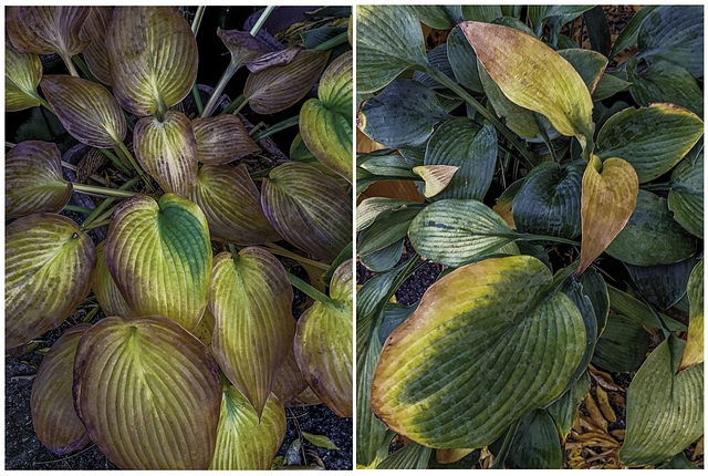 Hosta leaves changing colour
