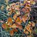 Berberis Autumn colours