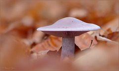 Wood blewit ~ Paarse schijnridderzwam (Clitocybe nuda; syn: Lepista nuda)...