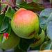 Des poires sur notre arbre