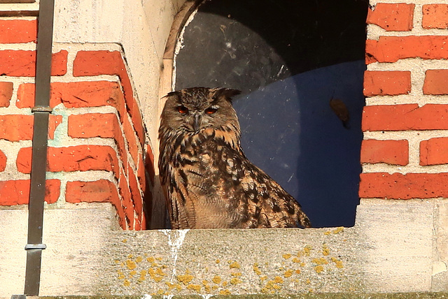France.Nord.Hibou grand duc