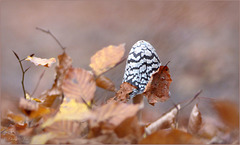 Magpie Inkcap ~ Spechtinktzwam (Coprinopsis picacea)...