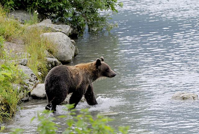 Brown Bear, Haines, Alaska