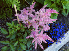 Pink astilbe for Betty