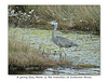 A Grey Heron Cuckmere Haven 21 10 2016