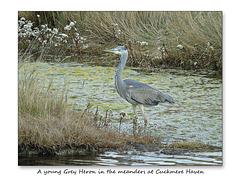 A Grey Heron Cuckmere Haven 21 10 2016