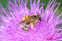 Wildbiene auf Distelblüte