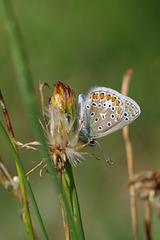 argus bleu - Azuré de la bugrane - Azuré commun (Polyommatus icarus)