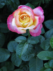 Rose of Many Colors