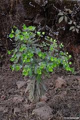 20191213-0849 Euphorbia rothiana Spreng.