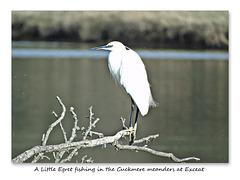 Little Egret fishing Cuckmere 21 10 2016