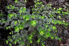 20191213-0813 Euphorbia rothiana Spreng.