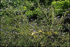 Cytisus scoparius (4)