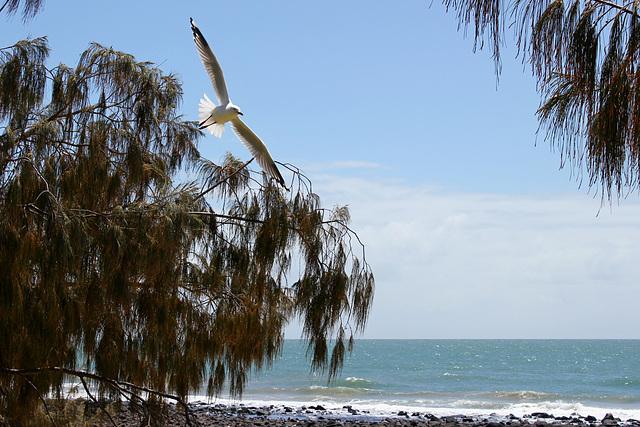 283/365 Bargara Seagull