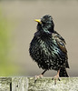 Starling sitting on the fence
