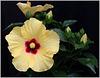 hibiscus .....