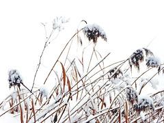 Schilf im Schnee
