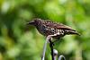 Starling (4)