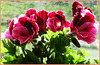 First Balcony flower   (Pelargonium Grandiflorum)