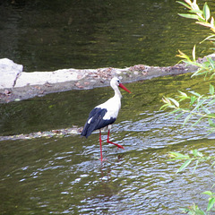 White stork - Dimiev Khan, Bulgaria