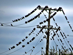 Starling  Convention.