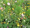 UN CHAMP DE FLEURS / A FIELD OF FLOWERS
