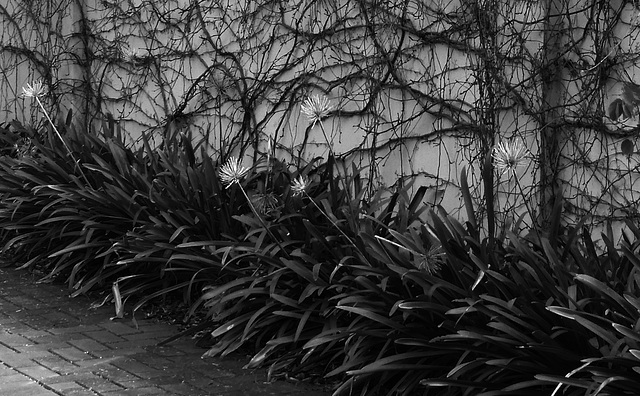 agapanthus stems