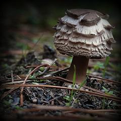 Ecailles de champignon