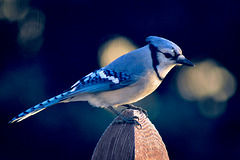 Geai Bleu…..