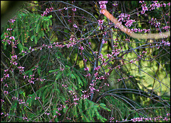 Branch - Red bud tree ~ Cercis canadensis