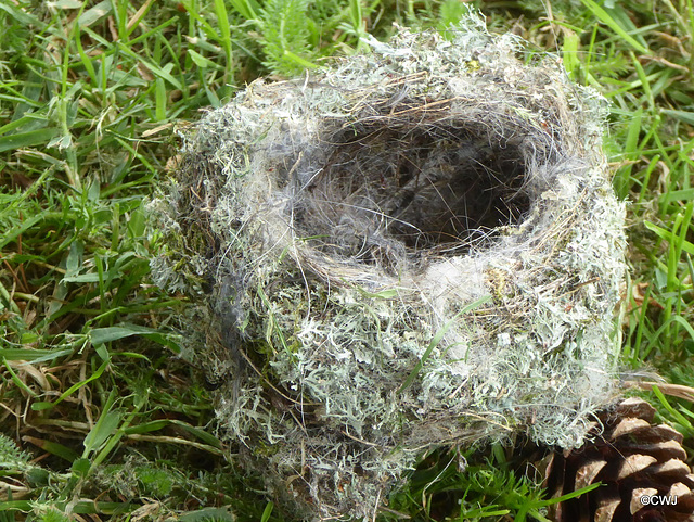 Master Builder: wren's nest blown out of the hedge by yesterday's strong winds, fortunately after the family had all fledged. Moss, lichens and lined with human hair - that's what comes of trimming yo