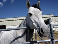 Pretty dapple mare