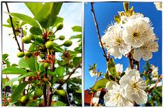 Kirschblüten und Früchte... ©UdoSm