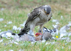 Sparrow Hawk drops in for lunch