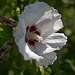 20140801 4429VRAw [D~E] Roseneibisch (Hibiscus), Gruga-Park, Essen