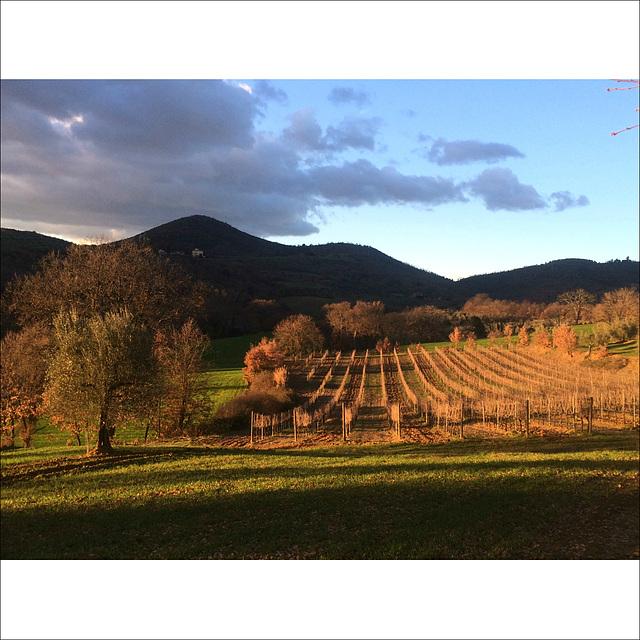 Vineyards in winter.