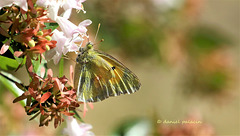 Le Souci (Colias crocea)