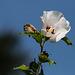 20140801 4430VRAw [D~E] Roseneibisch (Hibiscus), Gruga-Park, Essen