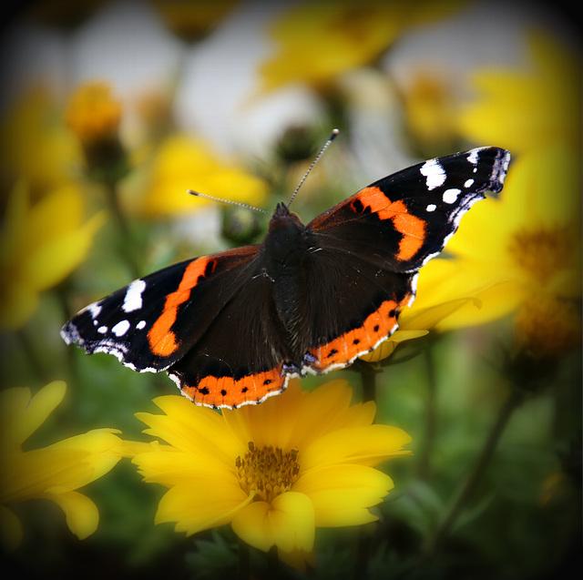 Schmetterlingsromantik