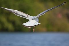 Black Headed Gull 2