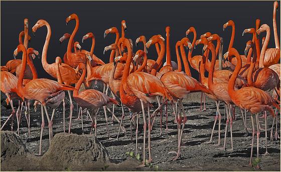 An orange Cuban long leg dancing orgy