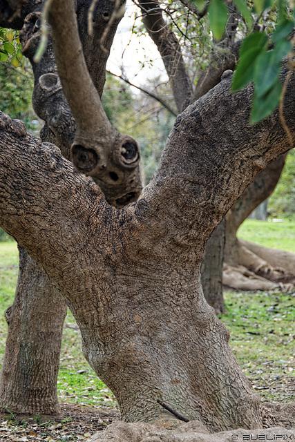 Jardin del Turia - ob dieser Baum Rudyard Kipling al Vorlage für die Schlange Kaa diente? (© Buelipix)