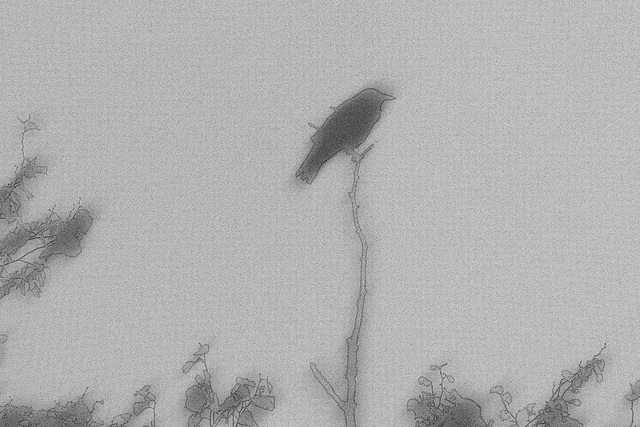 A scratchy sketchy Carrion Crow