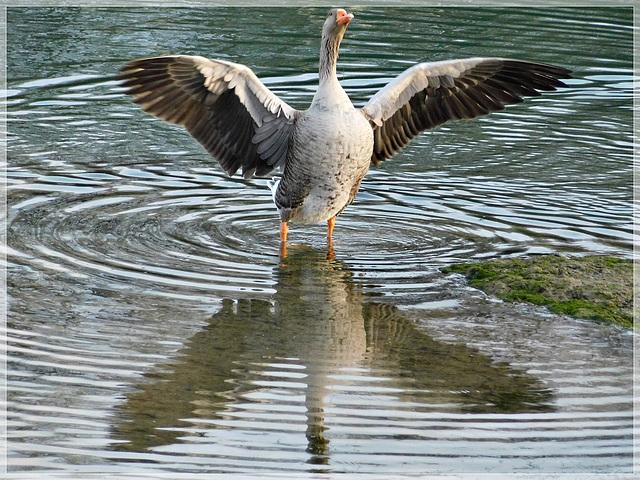 Oie cendrée  : reflets au port de Plouer sur Rance (22)