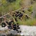 Prunus padus, Canada L1010230